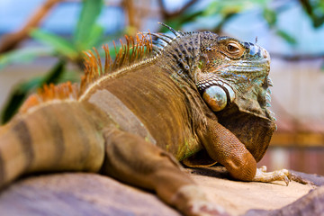 Orange colored Green Iguana resting