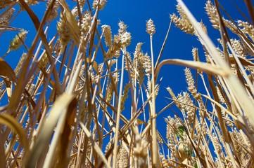 Getreide streckt sich empor