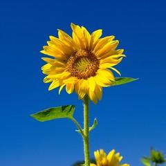 Sonnenblume vor blauem Himmel