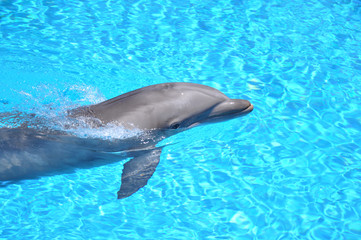Photo sur Aluminium Dauphins Dolphin Swimming