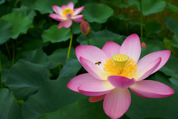 千葉公園初夏の大賀蓮と蜂