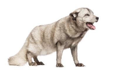 Arctic fox panting, Vulpes lagopus,isolated