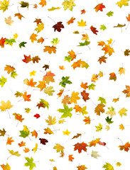 Background of falling maple autumn leaves on white.