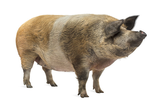 Domestic pig standing and looking away, isolated on white