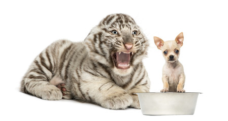 White tiger cub screaming at a Chihuahua puppy, isolated on whit