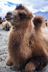 Bactrian or two-hump camel in Nubra Valley