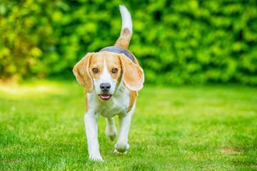 Beagle läuft