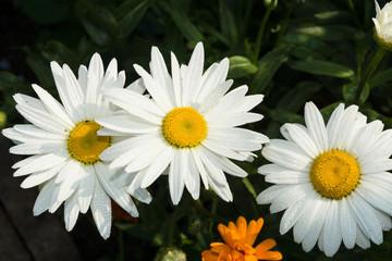 Chamomile flower after rain
