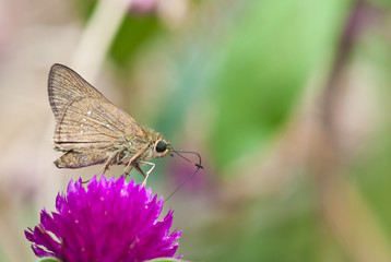 brown small butterfly on flower,thailand