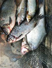 fresh from water bream, crucian carp, roach, crucian