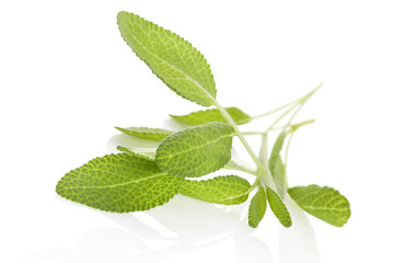 Salvia isolated on white.
