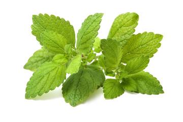Fresh green leaf of melissa. Lemon balm