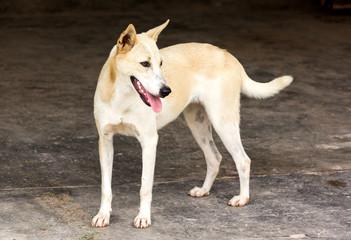dog ,thailand