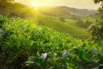 Tea plantation at Cameron Highlands, Malaysia Wall mural