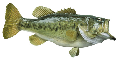 Largemouth bass isolated on white background