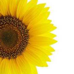 Sunflower on white detail
