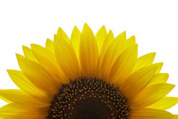 Sonnenblume im Durchlicht