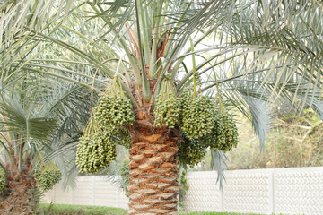 Green Kimri & khalal dates clusters all around the palm tree
