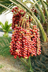 Closeup of the cluster of red dates