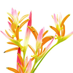 Wall Mural - Heliconia 'Sassy'
