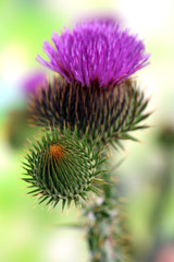 Thistle flower on nature background