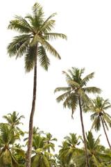 cocotiers sur fond blanc