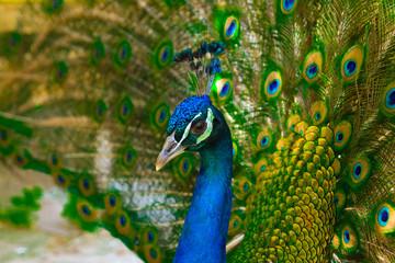 head peacock