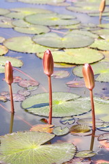 Three pink lotus buds in lake