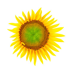 Sonnenblume; Beschneidungspfad
