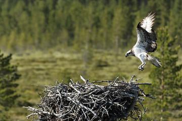 Fotoväggar - Osprey, Pandion haliaetus,