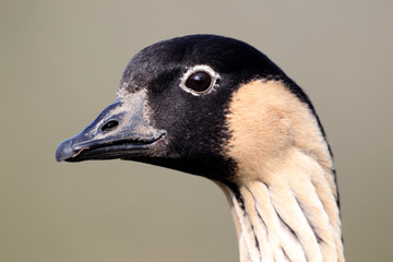 Nene or Hawaiian Goose, Branta sandvicensis