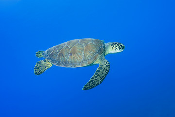 Green turtle, Chelonia mydas, swimming over blue sea
