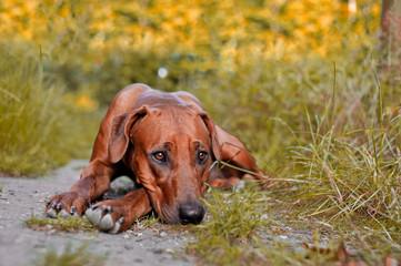 Dog puppy rhodesian ridgeback in autumn woods