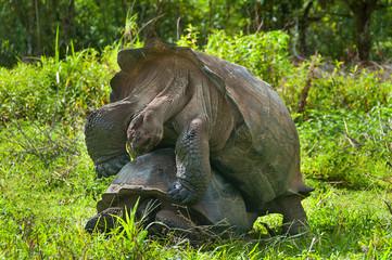 Mating Giant Tortoises