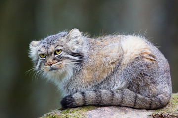 Manul cat laying on a rock
