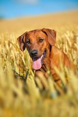 Dog in the rye wheaten field