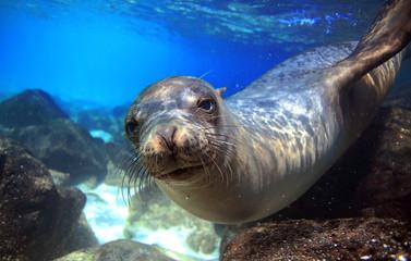Sea lion underwater looking at camera