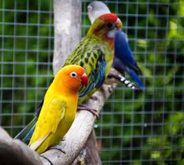 Parrot Agapornis fischeri (Fischer's Lovebird)