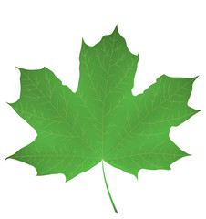 Maple leaf isolated on white. Vector EPS10.