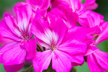 beautiful pink flower on nature