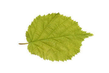 Common Hazel leaf isolated on white
