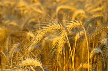 Goldenes Getreide in der Sonne
