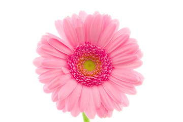 macro of a pink gerbera