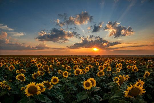 Magnificent sunset over a sunflower field