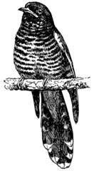 Bird Himalayan Cuckoo