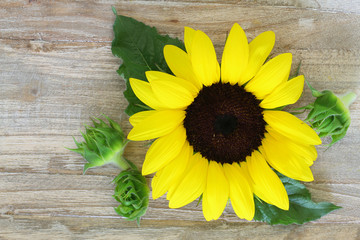 Sunflower on wooden surface with copy space