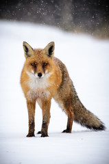 A red fox (Vulpes vulpes) standing in the snow.