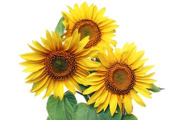 Sonnenblumen isoliert