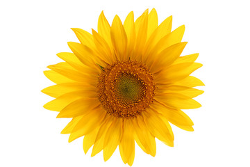 flower sunflower isolated on a white background