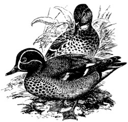 Birds Eurasian Teal